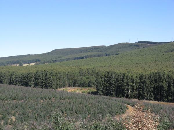 Monoculture tree plantation, Ixopo, South Africa