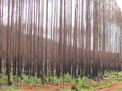 Burnt trees
