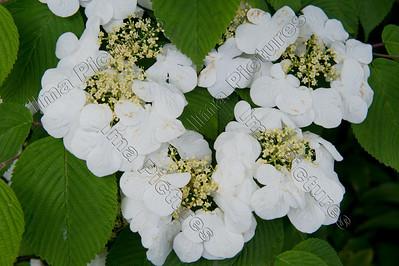 hydrangea,hortensia