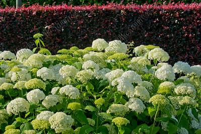 hydrangea arborescens,smooth hydrangea,hortensia annabelle,hortensia de virginie