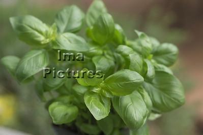 6-32-30 0007 herbs herbes kruiden basil basilicum basilic
