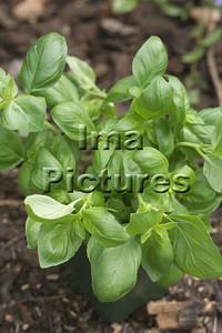 6-32-30 0005 herbs herbes kruiden basil basilicum basilic