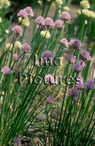 1-32-30-0009 herbs herbes kruiden chive bieslook ciboulette