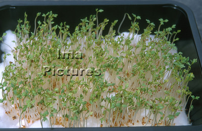 1-32-30-0296 herbs,herbes; kruiden; cress; tuinkers; cresson;