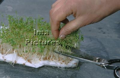 1-32-30-0298 herbs,herbes; kruiden; cress; tuinkers; cresson;