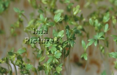 1-32-30-0297 herbs,herbes; kruiden; cress; tuinkers; cresson;