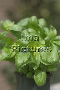 6-32-30 0006 herbs herbes kruiden basil basilicum basilic