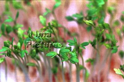 2-32-30-0002 herbs,herbes; kruiden; cress; tuinkers; cresson;