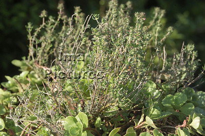 1-32-30-0316 herbs,herbes; kruiden; cress; tuinkers; cresson;