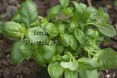 6-32-30 0004 herbs herbes kruiden basil basilicum basilic