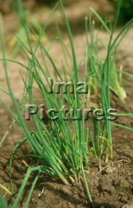 1-32-30-0008 herbs herbes kruiden chive bieslook ciboulette