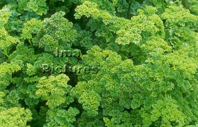 1-32-30 0028 herbs herbes kruiden parsley peterselie persil
