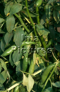 1-32-30 0272 vegetables groenten légumes beans bonen haricots