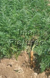 1-32-30-026 vegetables; groenten; légumes carrots;worltelen;carottes