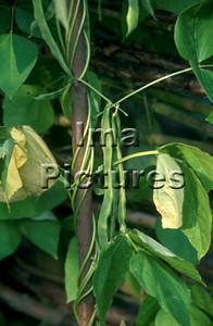 1-32-30 0271 vegetables groenten légumes beans bonen haricots