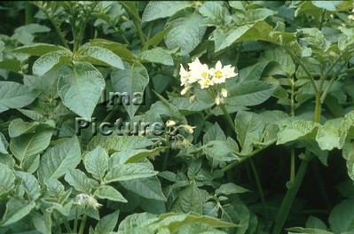 1-32-30 0278 vegetables groenten légumes potatoes aardappel pomme de terre