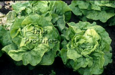 1-32-30 0051 vegetables groenten légumes lettuce,sla,salade