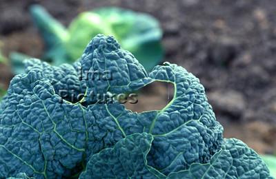 1-32-30 0018 vegetables groenten légumes green cabbage groene kool chou vert