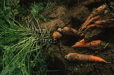 1-32-30-284 vegetables; groenten; légumes carrots;worltelen;carottes
