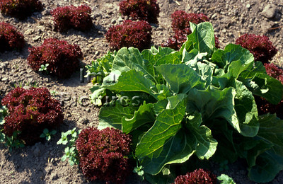 1-32-30 0012 vegetables groenten légumes lettuce,sla,salade