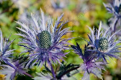 Eryngium alpinum,alpine sea holly,alpenkruisdistel,Panicaut des Alpes