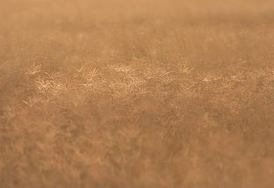 Grass Sohar, Oman 22.11.2010 Canon EOS 50 D + EF 400 mm 5,6 L