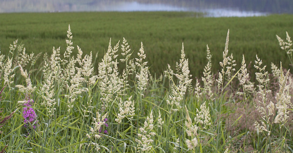 Grass ved Hafslovannet Hafslo, Sogn og Fjordane 6.7.2009 Canon EOS 50D + 17-40 mm L
