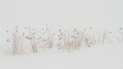 Takrør / Common Reed Linnesstranda, Lier 21.1.2012 Canon EOS 7D + EF 200 mm 2,8 L