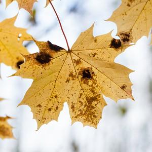 Lønn / Maple Linnesstranda, LIer 19.10.2012 Canon EOS 5D Mark II + EF 50 mm 1,4