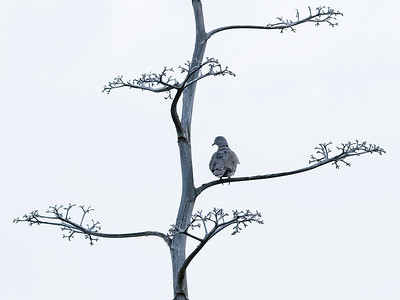 Tyrkerdue / Eurasian Collared-Dove  Gran Canaria, Spania 31.12.2014 Canon 7D Mark II + Tamron 150 - 600 mm @ 273 mm