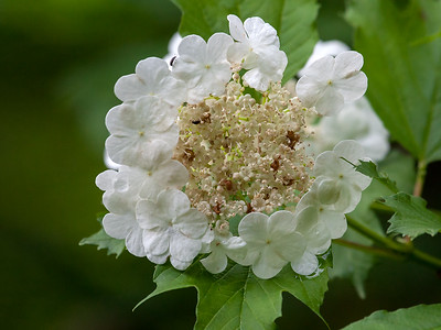 Krossved / Guelder-rose Linnesstranda, Lier 23.6.2013 Canon EOS 5D Mark II + EF 100 - 400 mm 4,5-5,6 L