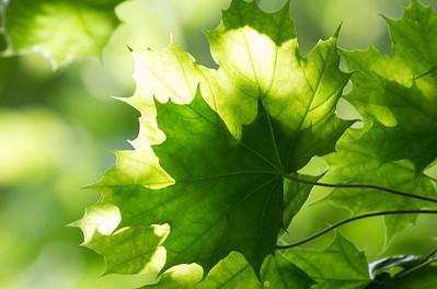 Lønn / Maple Linnesstranda, Lier 11.7.2012 Canon EOS 7D + EF 100-400 mm 4,5-5,6 L