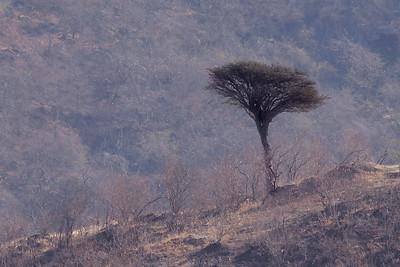 Tre /Tree Ayn Hamran, Oman 30.11.2010 Canon EOS 50D + EF 400 mm 5,6 L