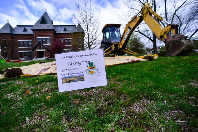 KRISTOPHER RADDER — BRATTLEBORO REFORMER<br /> A worker from the Brattleboro Department of Public Works operates an excavator to help loose the soil as volunteers from Edible Brattleboro plant three cherry trees on the lawn of Municipal building, in Brattleboro, on Tuesday, May 12, 2020.
