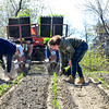 KRISTOPHER RADDER — BRATTLEBORO REFORMER<br /> Trinna Larsen and Mikala Chase, employees at Harlow Farm, in Westminster, Vt., remove extra dirt from the newly planted corn or place a corn plant in areas that were missed on Thursday, May 14, 2020.