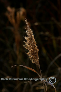 Back lit Sea Oat