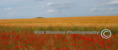 Salisbury Plain Poppies