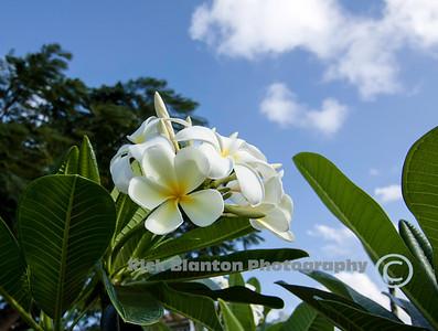 Gorgeous Plumeria !