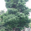 The Tsurugaoka Hachiman Shrine Ginkgo<br /> A Japan Heritage Tree with an estimated age of 800 years.<br /> Photo Taken July 20th 2007