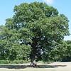 The Hanley Swan Oak - UK