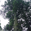 """The Hakone Shrine Japanese Cedar - Japan This Cryptomeria japonica is said to have been planted at the shrine 1200 years ago.  <A HREF=""""http://guy.smugmug.com/gallery/3211619#177678170""""><FONT COLOR=""""red"""">More Photos Here</A> Photo Taken: July 17 2007"""