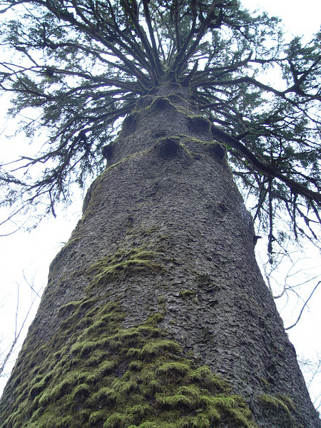 The Sitka Spruce at Klootchy Creek.