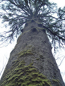 The Sitka Spruce at Klootchy Creek. With an estimated age of 750 years and height of 206' this Picea sitchensis was the tallest tree in Oregon & the tallest Sitka Spruce in the USA. Sadly it was severely damaged in a 2006 winter storm. In December 2007 another strong winter storm blew in & the tree fell.  Photo taken January 23 2005