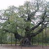 The Major Oak<br /> Growing in Sherwood Forest, England you will find the Major Oak with an estimated age of 800 years and a circumference of 33'.<br /> Photo taken October 26 2007