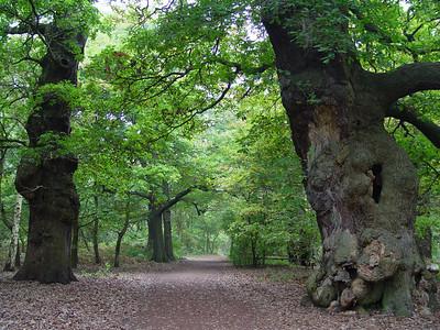 Oaks of Sherwood Forest