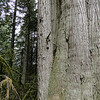 The low branch coming out of the cedar near the base is actually a Doug Fir that has been engulfed by the cedar.