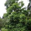 Carya illinoinensis