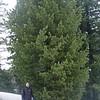 Pinus cembra - Swiss Pine<br /> & Martin