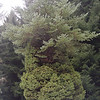 Picea glauca 'Conica'<br /> A classic example of reversion on this old 'Conica' cultivar as plain old Picea glauca bursts out the top!