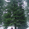 Abies bournmuelleriana<br /> Turkish Fir